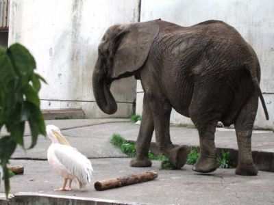 elephant and pelican